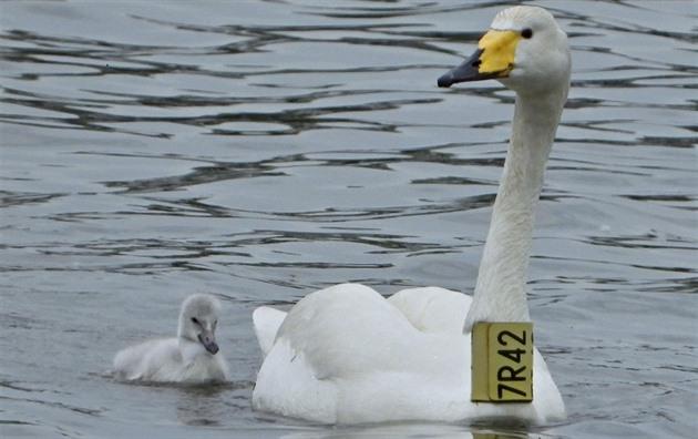 Hnízdění cizokrajné labutě opět končí smutně, přišla o mladé i partnera