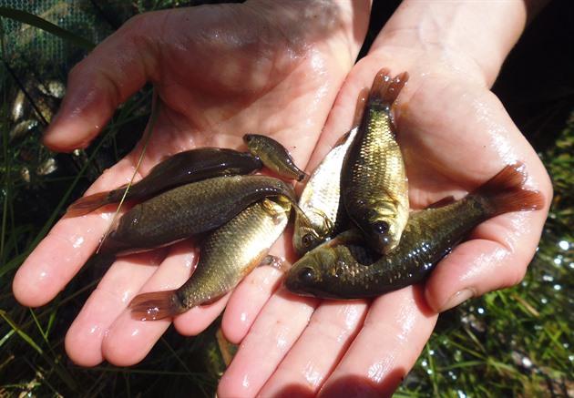 Ochranáři v rybníčku hledali čolky, našli zřejmě kriticky ohroženého karase