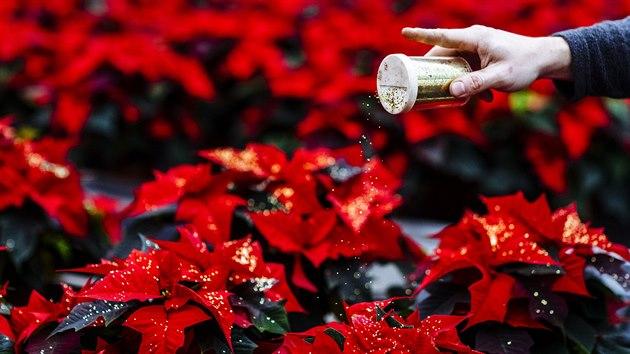 Ve sklenících společnosti Azalea Chlumec každoročně vypěstují přibližně 100 tisíc vánočních hvězd. Na snímku je příprava oblíbených rostlin s glitry. (12. listopadu 2020)