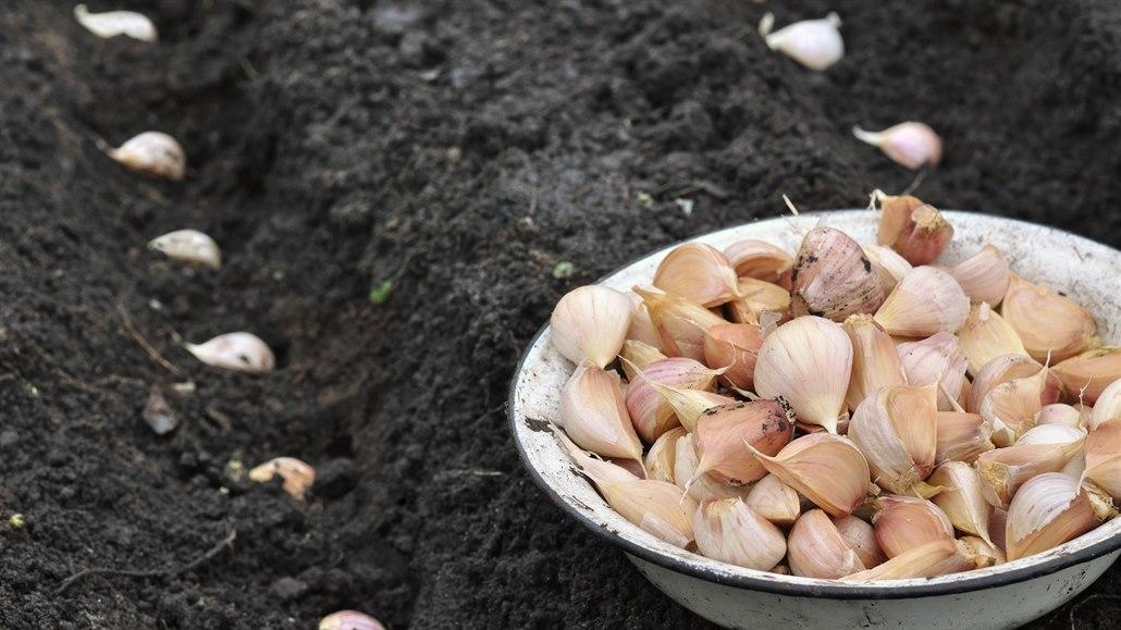 Je čas vysadit česnek, abyste příští rok sklízeli svůj. Není to těžké