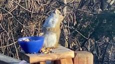 Opilá veverka se potácela u mísy zkvašených hrušek