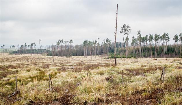 Z jehličnatých lesů v okolí Dačic zbylo na mnoha místech už jen několik borovic. I do nich se ale v letošním roce pustil hladový kůrovec.