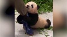 Panda nechce pustit svého ošetřovatele. Je z toho hit