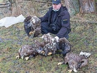Nález čtyř těl vzácných orlů mořských šokoval ochranáře. Uhynulá zvířata ležela...