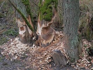 Nynější období je i ideální příležitostí spatřit viditelné stopy bobrů -...