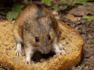 Ve volné krajině či na venkově myš nenajde tolik zdrojů potravy jako ve městě....