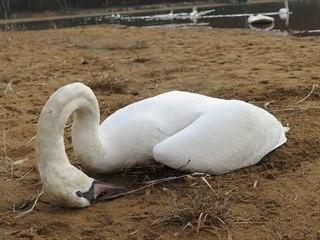 Na Boleváku v Plzni uhynuly čtyři labutě. Záchranáři se domnívají, že za to...