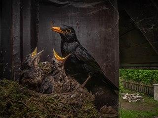 CENA ZA NEJLEPŠÍ FOTOGRAFII ČESKÉ PŘÍRODY: © Igor Mikula – Kos černý (Turdus...