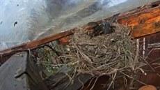 Kosí hnízdo živě. Sledujte ptačí domácnost zblízka