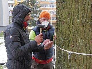 Odborníci se dřevině věnovali ve středu, mimo jiné prováděli i tomografické...