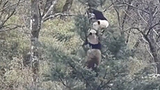 Dva pandí samci se porvali v korunách stromů