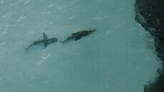 Žralok si zřejmě chtěl pochutnat na krokodýlovi