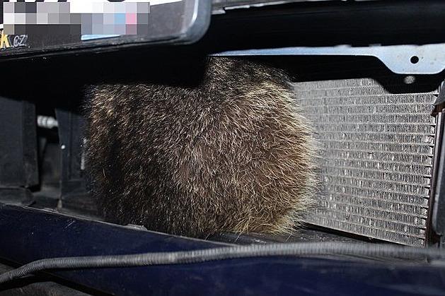 Řidič na Hané srazil mývala, mrtvé zvíře zůstalo zaklíněné u chladiče
