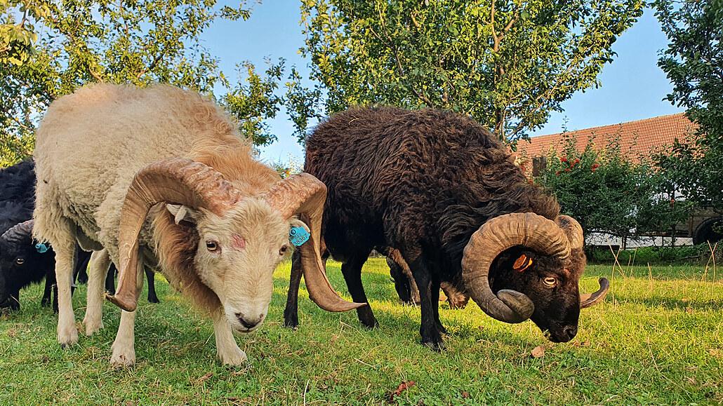 Ouessantská ovce je osvědčená miniaturní sekačka, říká chovatel