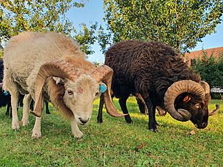 Bílý a černý beránek ouessantské ovce. Vzácněji se objevuje i hnědé vybarvení.
