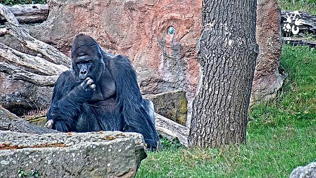 Gorily v Zoo Praha si užívají první květnové dny venku