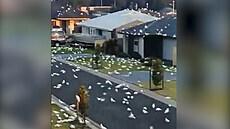 Australské město zaplavily tisíce papoušků Kakadu