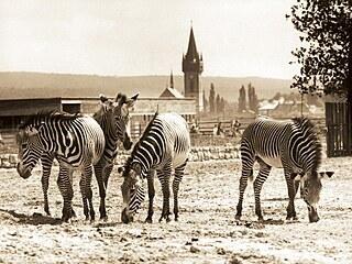 Královédvorské safari, panorama na snímku okolo roku 1972. Výběh se zebrami...