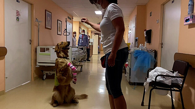Psí slečna opět pomáhá v nemocnici, čekala 400 dnů