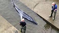 V Temži uvázla velryba. Vyprostili ji záchranáři