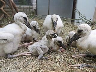 Mláďata čápa bílého z hnízda v Chotíkově jsou nyní v Záchranné stanici...