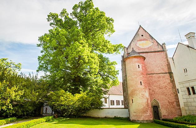 Lípa Kapucínka stojící v areálu kláštera ve Zlaté Koruně se dostala do finále ankety Strom roku.