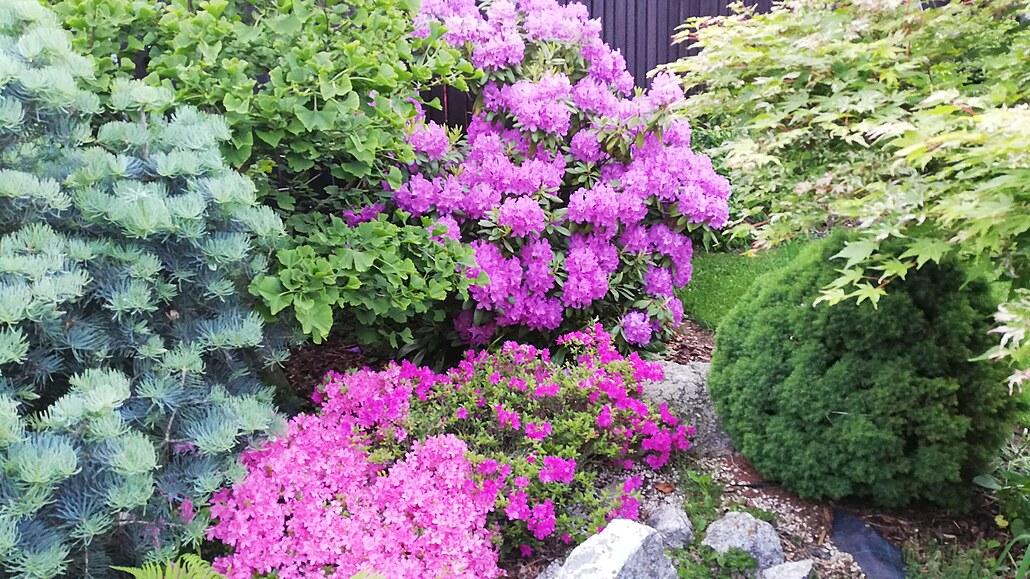 Taková normální zahrádka, kde dělají radost rododendrony i vistárie