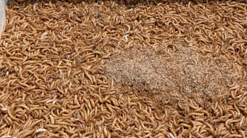 Z červího trusu vyrábí výborné hnojivo. Zcela nahradí slepičince