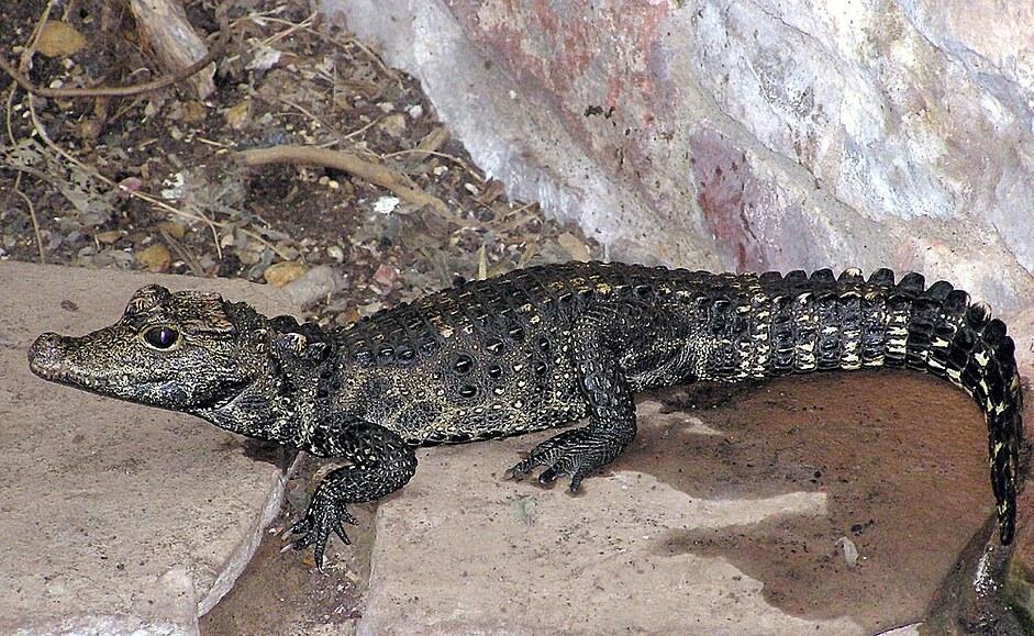 Chovateli v Ostravě utekl metrový krokodýl. Dva dny nejedl, varuje policie