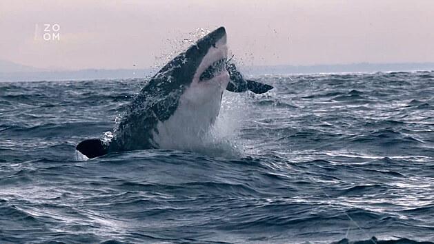 Filmaři natočili první létající velké bílé žraloky u Nového Zélandu