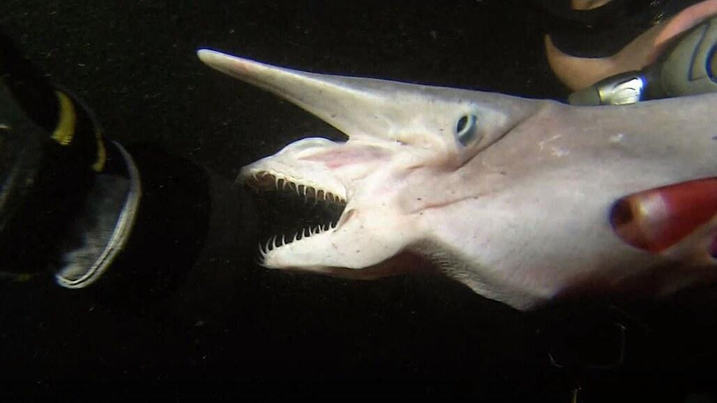 Nejpodivnější žraloci, se kterými se můžete na planetě setkat