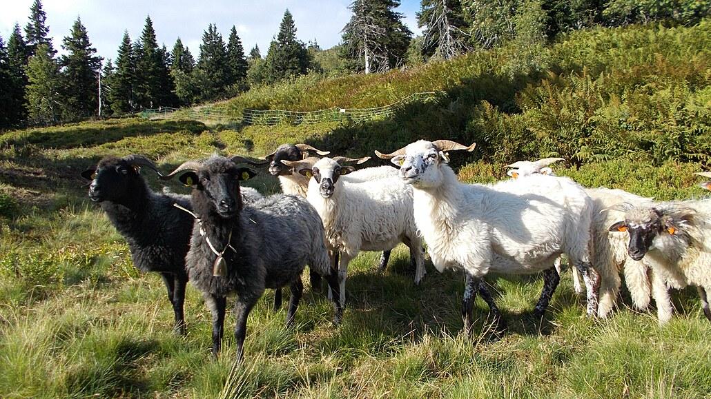 Pastviny v Jeseníkách jsou nejvýše v zemi. Kravám a ovcím pomáhají koně