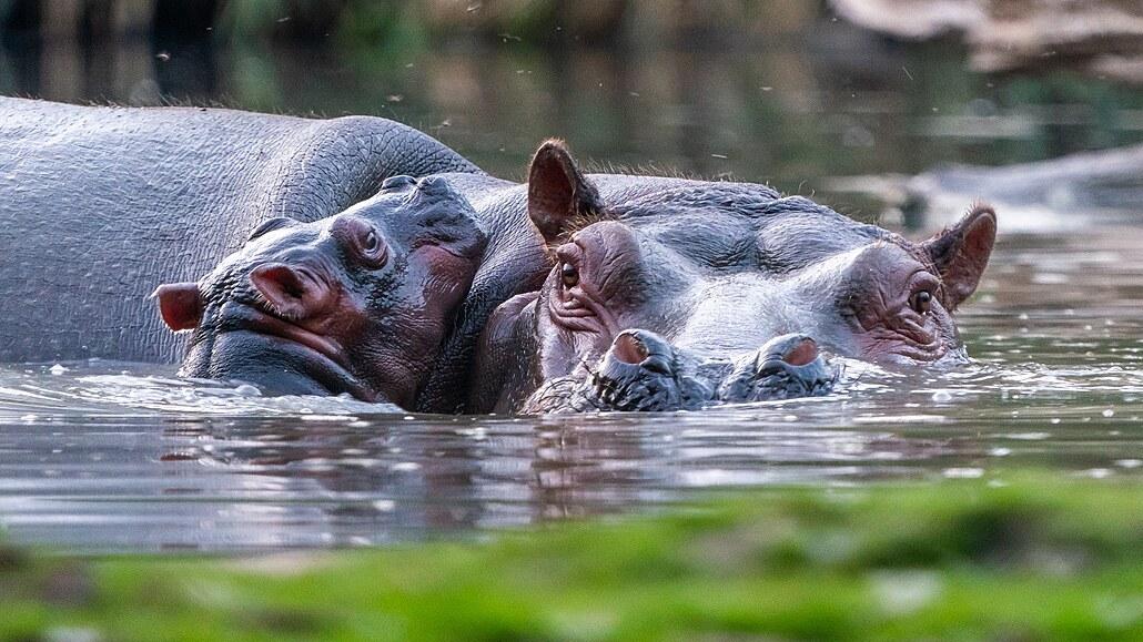 Pozorujte Jezero hrochů ve Dvoře Králové, ve vodě zastihnete i mláďata