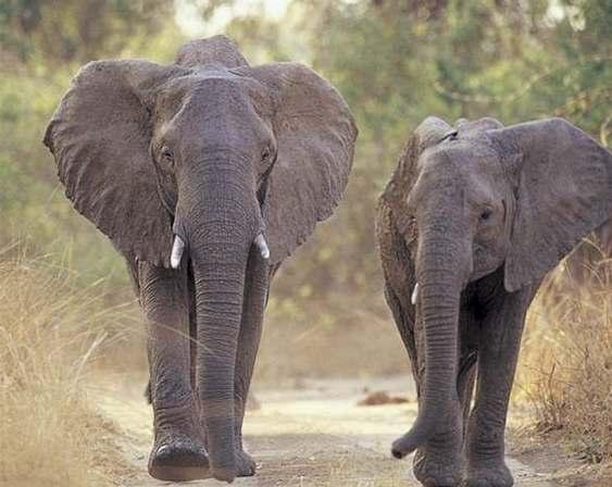 Krávy vytlačily slony