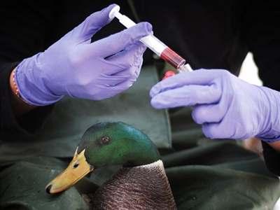 Kdo je imunní vůči ptačí chřipce?