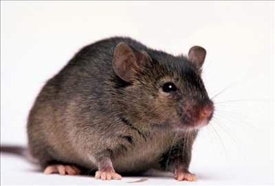 Vyklonovali myši z mrtvých zmražených buněk