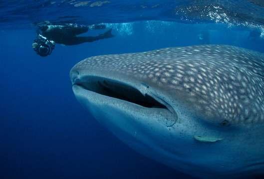 Obří žraloci se zmenšují