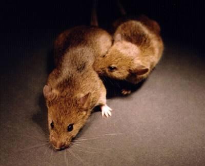 Myší buňky po sobě neuklízí
