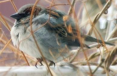 Vrabci mizí z velkoměst