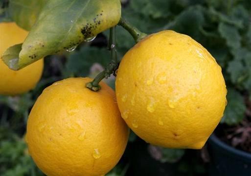 Citrusy na Floridě ničí drak