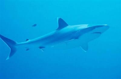 Žraloky zachrání umělá děloha