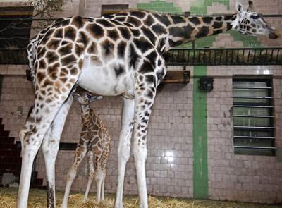 Kvůli výpadku proudu zemřely tři žirafy