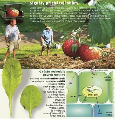 Růst rostlin řídí pokožka