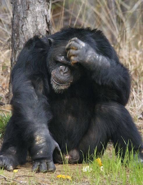 Šimpanzi nás předběhli