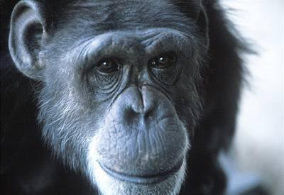 """První """"mluvící"""" opice zemřela"""