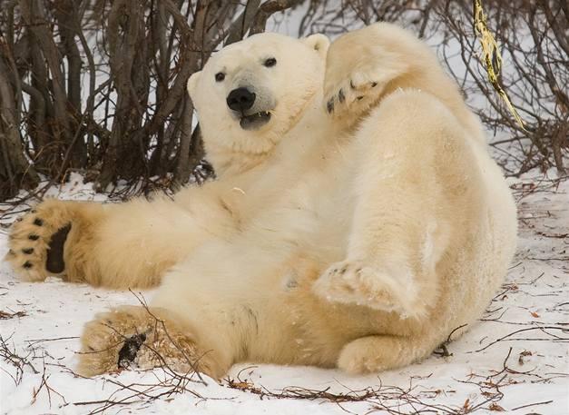 Lední medvěd poničil českou stanici v Arktidě