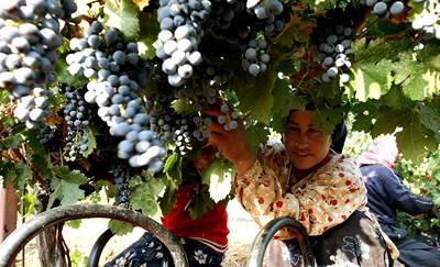 Víno dobývá arabský svět