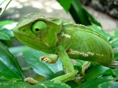 Chameleoni chtěli být vidět