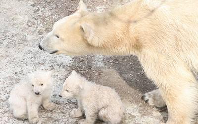 Brno se raduje ze svých medvíďat
