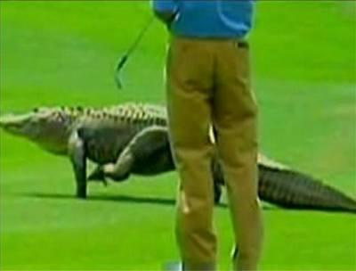 Video: aligátor na golfu